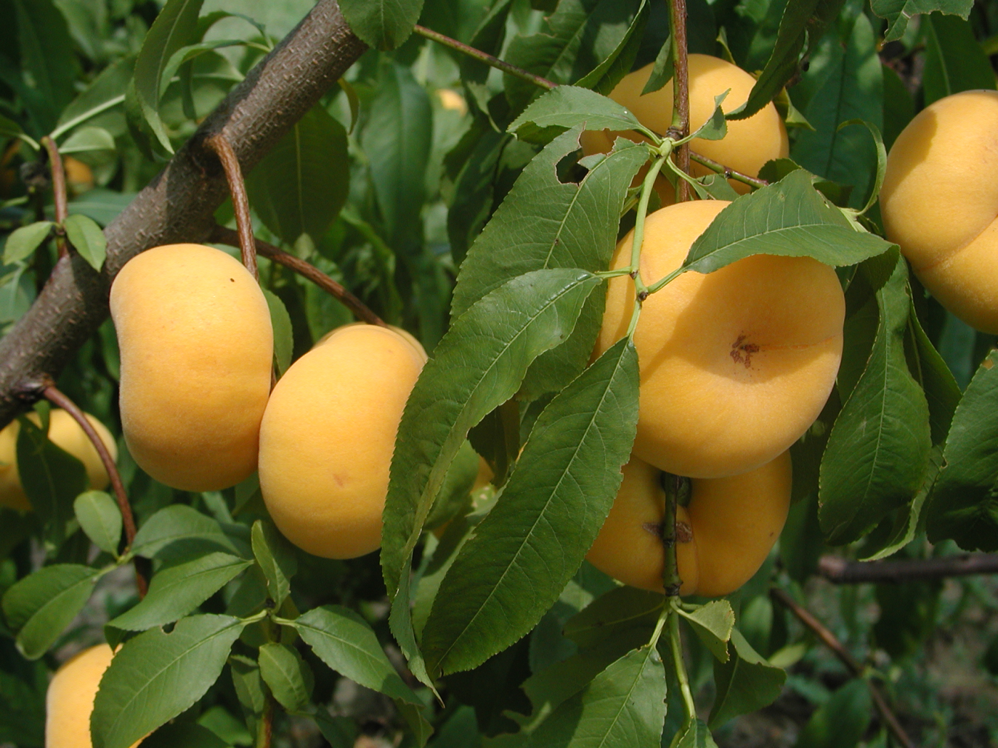 'NJF16' TangOs® Peach, Tree Fruit
