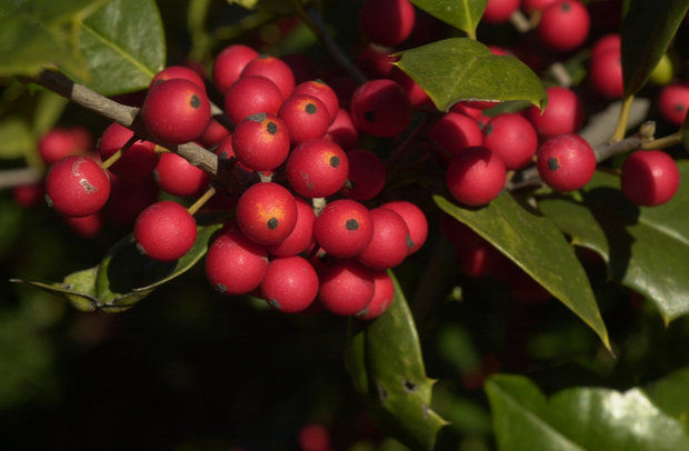 'Portia Orton' Holly Tree