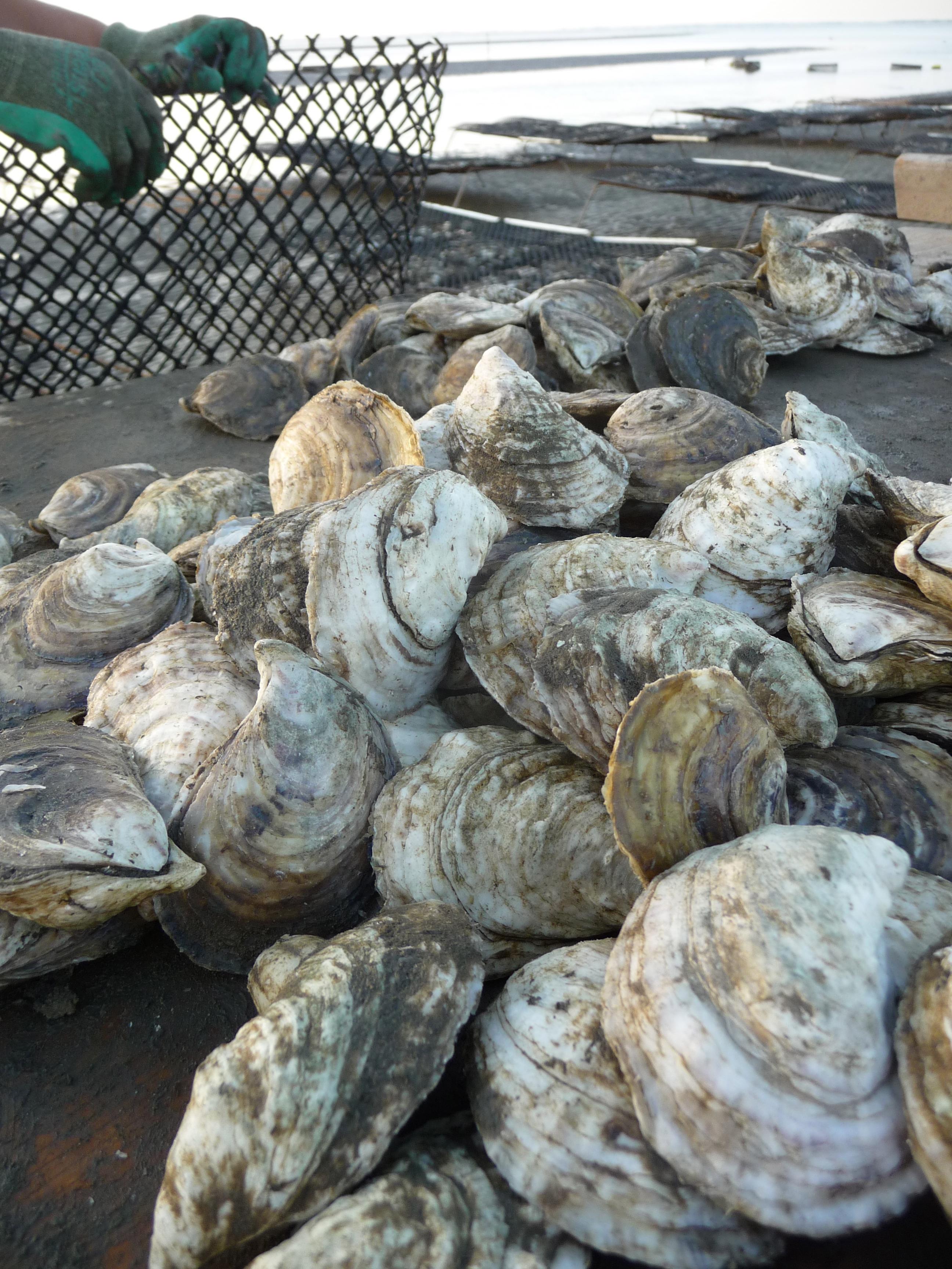 'Triploid' Oyster, Shellfish