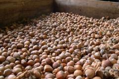 Eastern Filbert Blight-Resistant Hazelnut