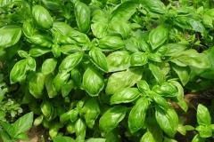 Downy Mildew-Resistant Basil