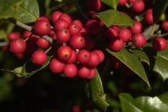 'Portia Orton' Holly Tree