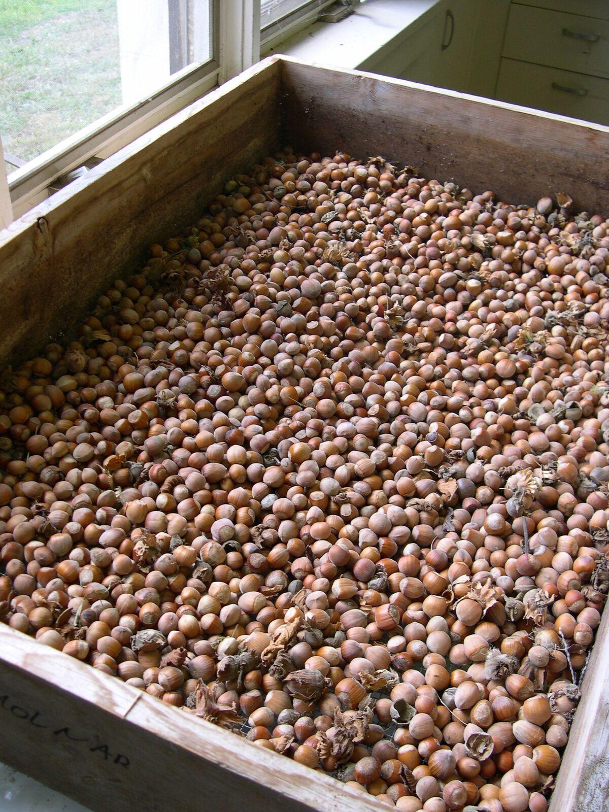 Hazelnuts001