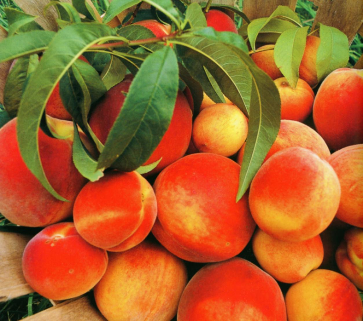 peachesenlar
