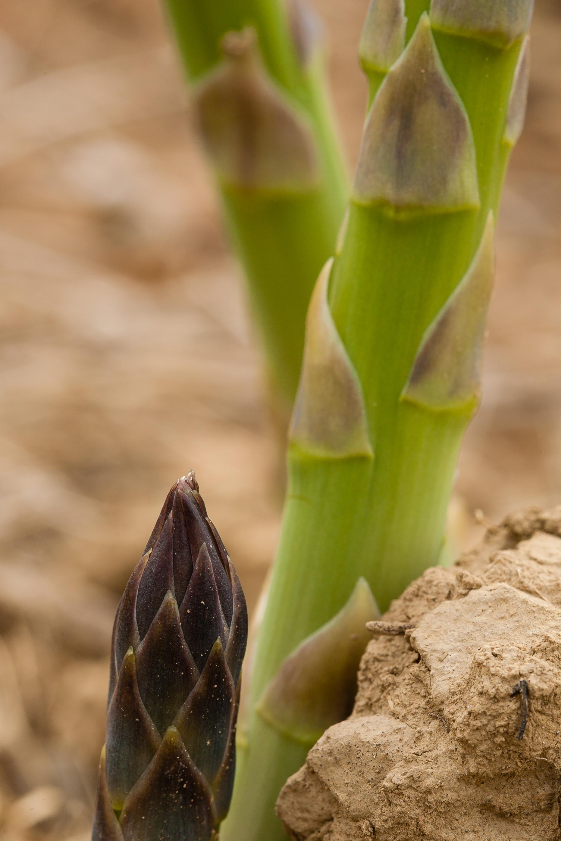 Asparagus_in_Field_29