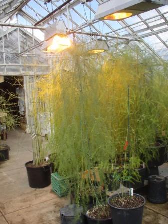 asparagus at Rutgers