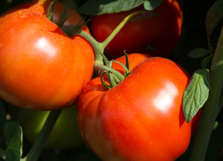 Rutgers 250™ Tomato