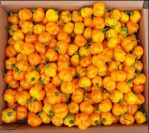 'Pumpkin' Habanero, Pepper