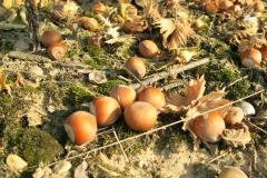Hazelnuts009