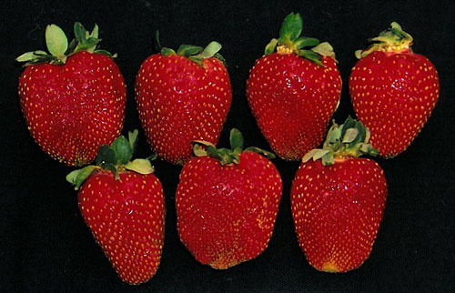 Strawberry-Rutgers-RU2014-039_RUT-30-7616_Figure-3