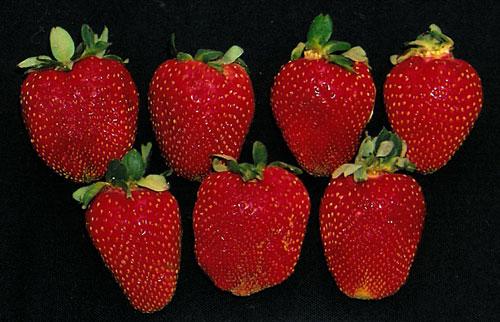 Strawberry-Rutgers-RU2014-039_RUT-30-7616_Figure-3