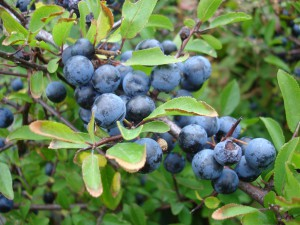 Rutgers blueberry