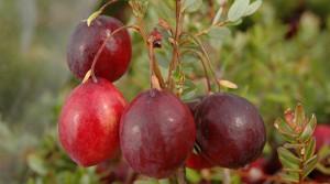 cranberrycloseup