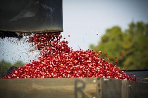 Rutgers cranberries, photo credit: Matt Rainey/Matt Rainey Photography, LLC,