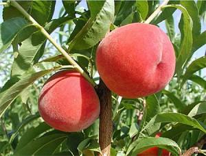desiree-peaches-tree