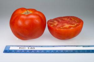 Rutgers tomato, KC 146