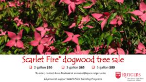 Scarlet Fire dogwood tree sale
